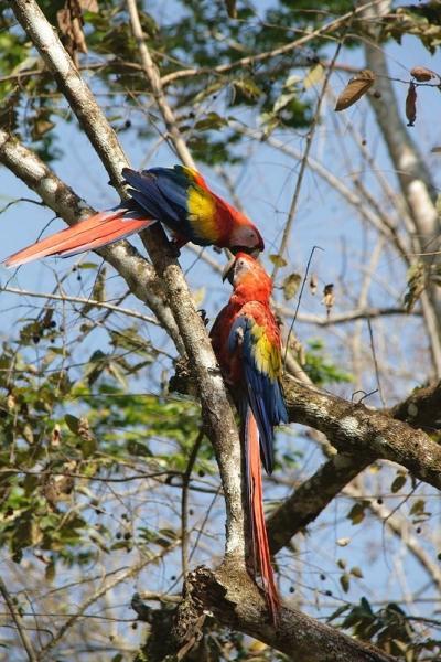 Scarlet Macaw - Copan Ruinas