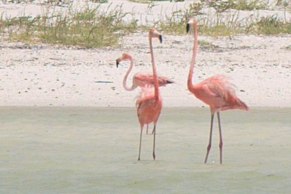 Flamingos on Isla Holbox