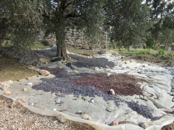 Olive Tree - Lycian Way
