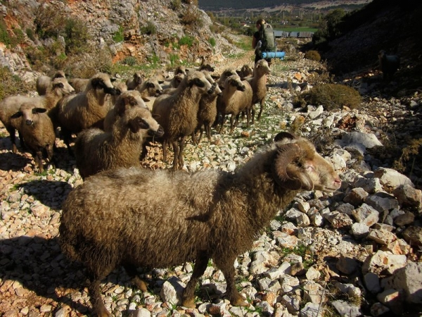 Sheep - Lycian Way