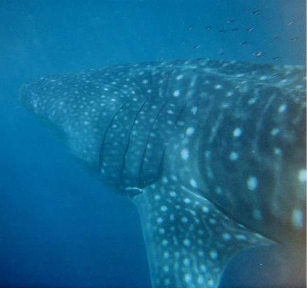 Whale Shark Under Water