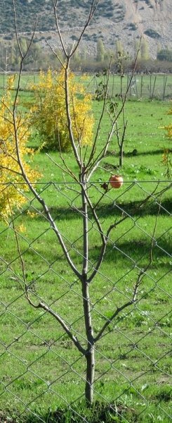 Lonely Apple - Lycian Way