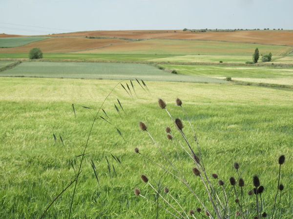 More wheat fields